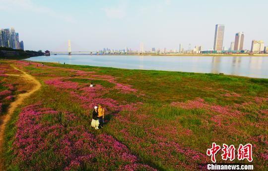 最全送彩金白菜网站赣江之畔紫云英绽放 游客徜徉紫色花海