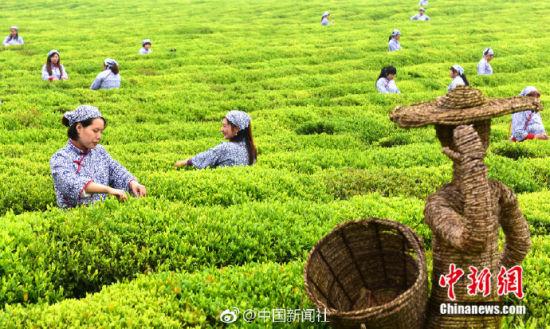 江南地区千亩茶园迎采摘期 茶农喜采雨前茶
