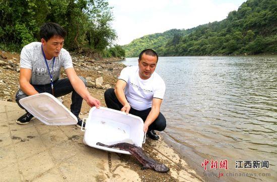 注册送白菜网仙女湖发现一尾重5.7斤野生娃娃鱼