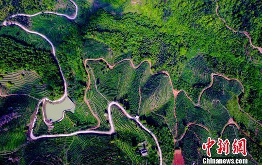 航拍注册送白菜网上犹千亩茶园 曼妙曲线如大地指纹