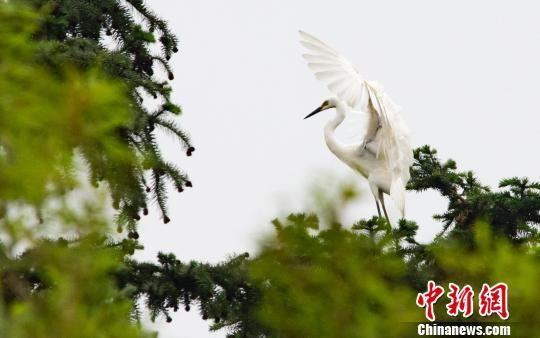注册送白菜网仙女湖区初夏生态画卷:乡村鹭鸟栖