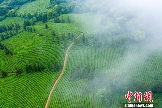 """航拍注册送白菜网千亩""""庐山云雾有机茶""""生产基地"""