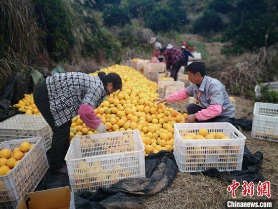 江(jiang)西信(xin)豐20萬畝臍橙迎豐收