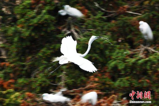 鷺鳥飛抵江西南xi)xiang)山(shan)森林(lin)公(gong)園