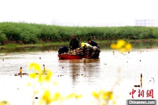 江(jiang)西(xi)瑞昌︰藕田種藕忙(mang)