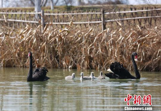 澳籍黑天鹅安家南昌 罕见冬季孵4只天鹅宝宝