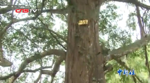 龙8国际娱乐手机登录一守山人守护12万株红豆杉30年